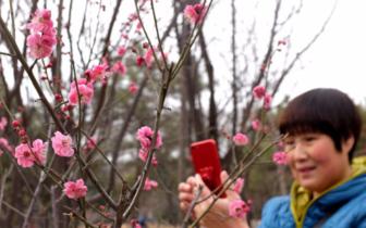 丛台公园:梅花盛开 引众多市民赏花拍照
