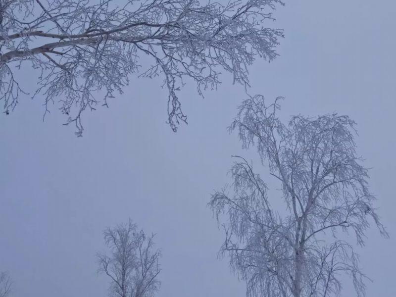 三月里的雾凇在哈巴河白桦林绚丽绽放