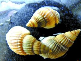 炒螺虽好吃小心织纹螺中毒 毒性可当场发作