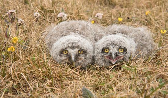 雪鸮曾是北極象征性物種 如今卻已變得鳳毛麟角