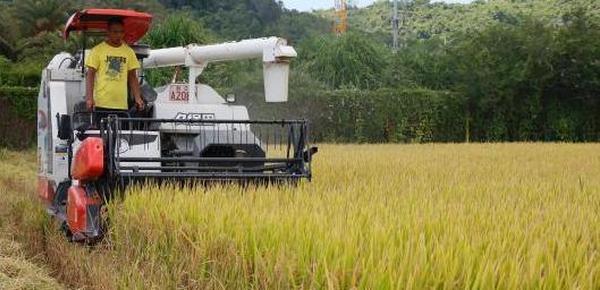 三亚海棠湾稻谷丰收 亩产最高上千公斤