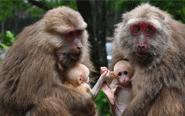 猕猴妈妈交流育儿经验