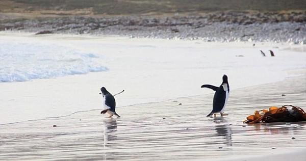 滑稽:南美一企鹅怕冷水急忙躲避潮水的照片 - 1