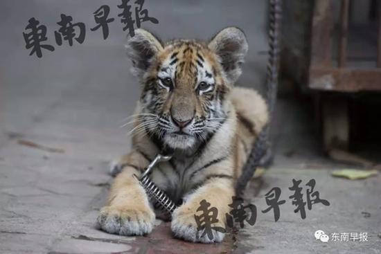 9岁女孩公园遛老虎 其父:老虎还小,没有攻击性