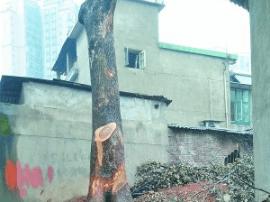 痛心!湖南3棵百年香樟树被砍 主人已报案
