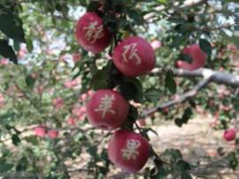 小苹果讲出致富好故事——静宁苹果产业富民新观